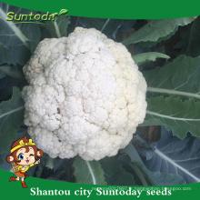 Suntoday importateurs de légumes frais non comestibles dans les graines de chou-fleur de légumes de Singapour F1 Heirloom F1 (A41005)