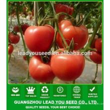 NT111 Fanqi F1 red indeterminate tomato seeds for growing