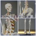 PNT-0101h custom logos human skeleton model manikin with good quality