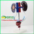 UROLOGY04 (12424) Female Urogenital System, Free Standing Urinary System Model, Anatomy Models > Urinary Models > Female