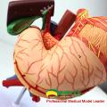 VISCERA01 (12538) Estomac d'anatomie humaine associée au modèle de l'abdomen supérieur en 6 parties