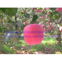 Prompt Shipment Shandong Origin New Crop FUJI Apple