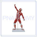 PNT-0341 meistverkaufte hochwertige menschliche Muskel Anatomie Modell von Higih Qualität