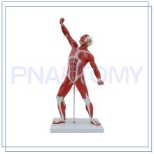 PNT-0341 MODELO HUMANO MUSCEL
