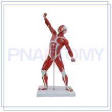 PNT-0341 HUMAN MUSCEL MODEL