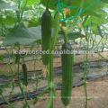 CU21 Lilv todas fêmea pepino híbrido sementes estufa plantio vegetais sementes