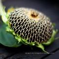 Nicht-GVO-Sonnenblumenkerne in der Schale