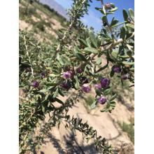 Fruta preta seca de Gogi (Wolfberry)