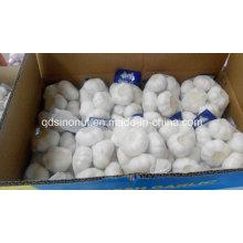500gx20 Pure White Knoblauch Super Qualität