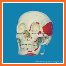 Life Size Human Muscular Skull Model for Sale