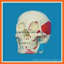 Modelo de crânio musculoso humano da vida para venda