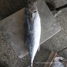 Atum bonito listrado congelado, preço grande