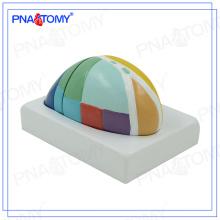 PNT-0621 Modelo de cerebro modelo de Thalam agrandado