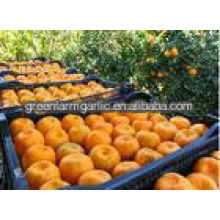 chinese Mandarin orange for international market