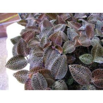 Extracto libre de la fuente de la fábrica de la muestra directamente Extracto natural del 100% de Anoectochilus de la venta