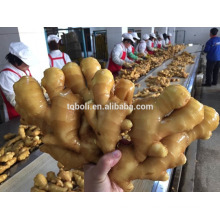 Chinese common Cultivation Fresh ginger