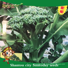 Suntoday New garden seeds catalogue vegetable F1 buying organic seeds online heriloom broccoli choysum seeds(A42006)