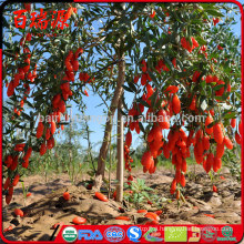 Goji fruit benefits onde comprar goji berry onde encontrar goji berry