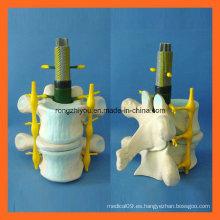 Modelo normal de la ampliación de la columna vertebral humana para la enseñanza médica