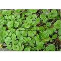 CAS No 38748-32-2 Tripterygium Wilfordii Extract 0.45% 98% Triptolide