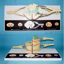 Модель нейронной анатомии спинного мозга для медицинского обучения (R140105)