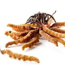 Top quality Cordyceps sinensis dongchong xiacao