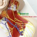 BRAIN20 (12418) Modèle anatomique des nerfs humains en sciences médicales