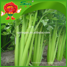 Types celery new crop price of celery