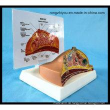 Schreibtisch Typ Modell Brust Anatomisches Modell / Pathologisch