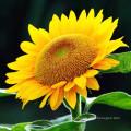 Großhandel Hybird Sonnenblumenkerne