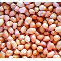Kernals d'arachide de bateau rond de peau rouge de première qualité