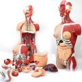 Анатомия TUNK 12016 туловища 29 частей , 85см Делюкс-секс медицинский человеческого тела обмен мышц анатомические модели