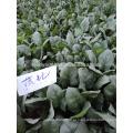 SN01 Bobi maturidade média boa doença resistente verde escuro folhas de sementes de espinafre