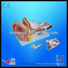 5 Parts Giant Ear Anatomical Model