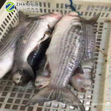 2019 New Stock IWP seafood fish frozen grey mullet wholesale 6/8 pcs