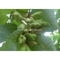 Galla Chinensis-extract