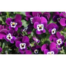 Pretty Pansy Flower Venda