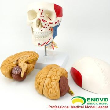 SKULL11-1 (12337-1) череп с мозгом, медицинские науки Анатомия черепных нервов Пластиковые модели головного мозга, черепа