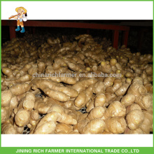 Fresh Vegetables Chinese Ginger Fresh Ginger 150g up 5kg/10kg Carton