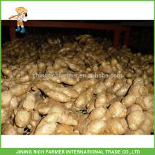 Legumes frescos Gengibre chinês Gengibre fresco 150g até 5kg / 10kg Carton