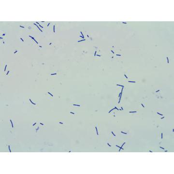 300 milliards CFU / g de poudre de probiotiques Lactobacillus Acidophilus