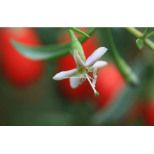Dired Goji Berry (0001)
