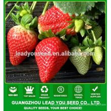 NSB01 Wotian semillas de fresa para ssale, plantas de fresa