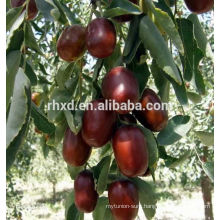 Best China red dates delicious