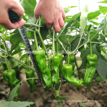 P32 Jubar madurez temprana tamaño grande piel fina semillas de pimiento verde híbrido
