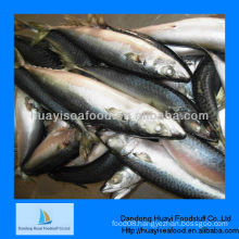 frozen mackerel for fish