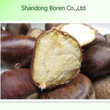 Versorgung 100% reife frische Kastanie Fromchina