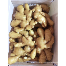 Fresh Ginger pour l'exportation