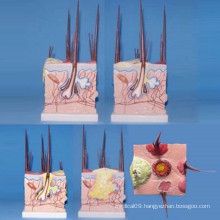 Dog Skin Medical Anatomical Model for Teaching (R190113)
