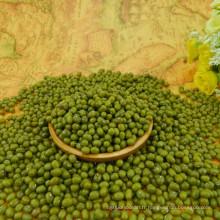 Haricots verts de qualité supérieure pour la germination, nettoyés à la machine